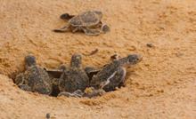 Loggerhead Baby Sea Turtles Hatching In A Turtle Farm In Sri Lanka, Hikkaduwa.