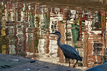 Wild Grey Heron Standing On The Canal Bank In Amsterdam, Netherland