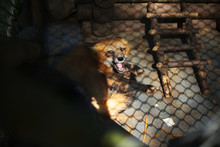 Little Wild Fox In A Cage In A...