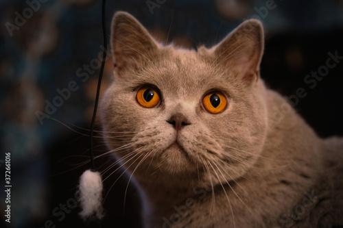 Papel de parede Animal de compañia Gato chartreux felino gris ojos naranjas