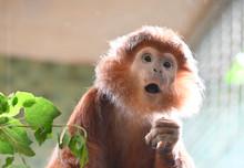 Funny Expression Of An Ebony Leaf Monkey