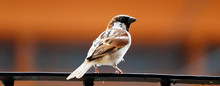 Indian Sparrow Sitting On A Ra...