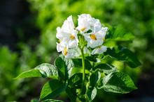 Bush Of Flowering Potatoes In The Field.