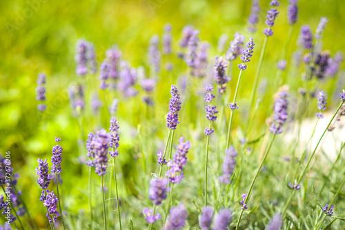 Lawenda jest popularną rośliną z wieloma zastosowaniami w kosmetyce, medycynie oraz gastronomii. - 372678206