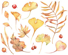 Autumn Leaves And Berries Watercolor Hand Drawn Illustration. Set Of Autumn Ginkgo Biloba Leaves.
