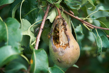 Wasps, Ants And Flies Feeding On A Ripe Pear And Causing Damage To The Fruit Still Hanging On The Tree