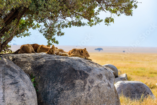 Obraz na plátně Group of young lions lying on rocks - beautiful scenery of savanna at sunset