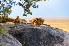 Group Of Young Lions Lying On ...