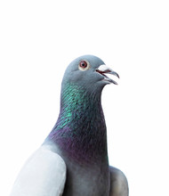 Close Up Head Of Homing Pigeon On White