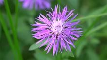 Purple Flower Of Common Knapweed (Centaurea Nigra).