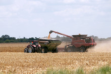 Harvesting Corn In The Summer In New Braunfels, TX