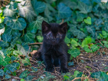 A Small Black Kitten With Not Yet Opened Eyes, About 2 Weeks Old, From A Stray Wild And Stray Cat, Sits In The Grass Among Thickets Of Colchis Ivy On A Summer Day