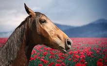 Beautiful Horse In Poppy Field...