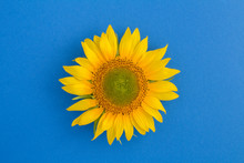 Top View Of Sunflower In Center Of The Blue Surface. Closeup.