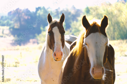 Fototapeta Pair of mare horses on sunny day close up, bald face horse blurred in foreground obraz