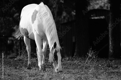 Obraz na plátně Paint horse bred mare grazing in black and white close up on farm, copy space on dark background