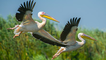 Two Pelicans Taking Of From Da...