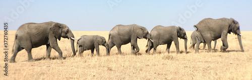 The African bush elephant Fototapet