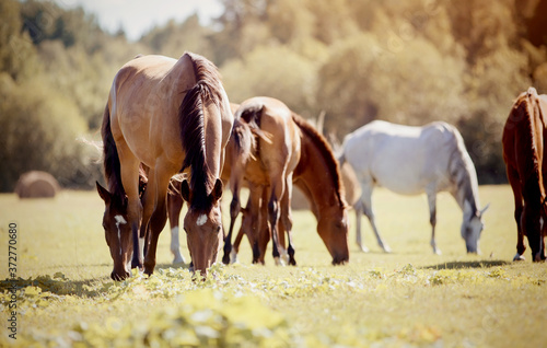 A herd of horses grazing on the field. Canvas Print