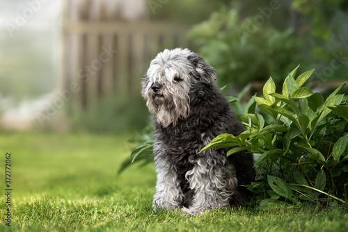 Fotografija beautiful old mixed breed dog sitting on grass in summer