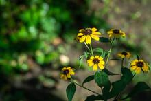Yellow Flowers Rudbeckia Trilo...