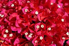 Red Bougainvillea Flowers, Bou...