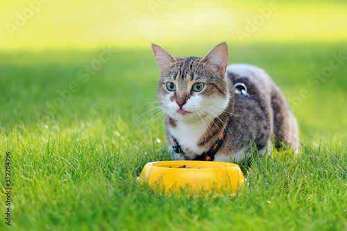 Fotografie, Obraz Hungry cat eating outdoors at the lawn