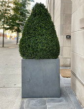 Bush Trimmed In Oval Shape In A Concrete Planter