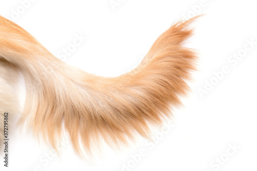Fotografia Brown dog tail (Golden Retriever) isolated on white background