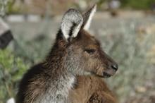 Portrait Of A Young Kangaroo