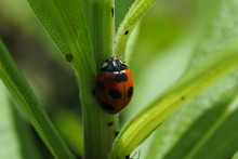 Seven Spot Ladybug Is Holding On The Plant's Stem.