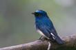 Beautiful blue color bird known as Indigo Flycatcher (Eumyias Indigo) on perch at nature habits in Sabah, Borneo