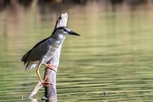 Black-crowned Night Heron Bird...