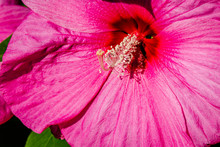Luna Rose Hibiscus In The Gard...