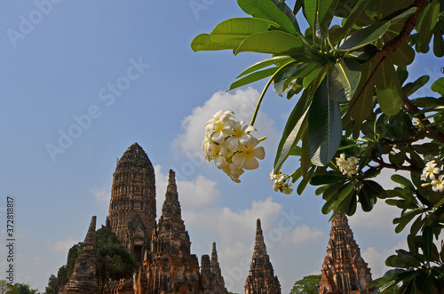 Tela White flowers and green leaves of plumeria tree with old pagoda background