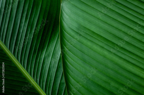 Fototapety zielone  tropical-banana-leaf-texture-in-garden-abstract-green-leaf-large-palm-foliage-nature-dark