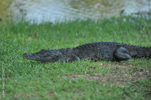 Africa. Zambia. The crocodile lies on the shore. Wallpaper Mural