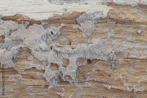Decayed wood old wood uneven wood surface caused by nibbling of termites ,Traces Fototapeta
