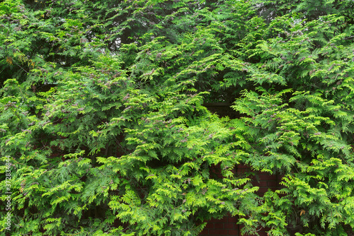 Green plants of thuja along the brick fence. Fototapet