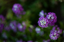 Photo Of One Of The Alyssum Fl...