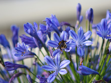 Bee On Last Of The Summer Agapanthus