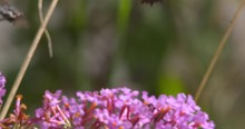 Butterfly Insects Wasps Feed On Pink Wildflower Cluster Summer Sun Slow Motion