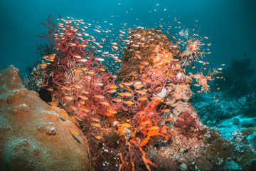 Fototapeta na wymiar Colorful coral reef surrounded by tropical fish, healthy marine ecosystem, Raja Ampat