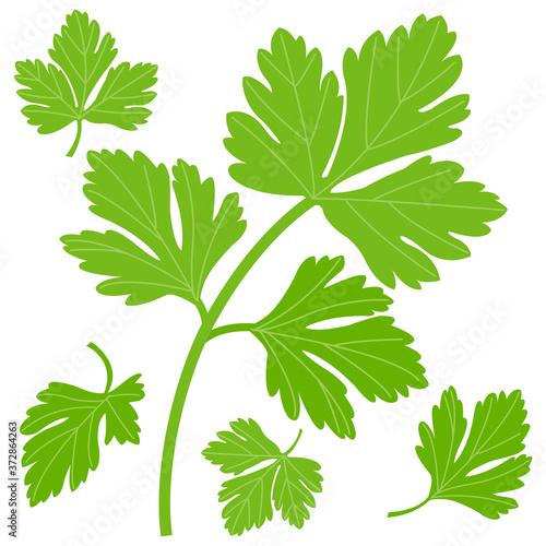 Fototapeta Fresh parsley leaves. Vector illustration obraz