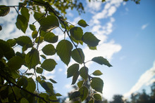 Green Leaves And Blue Sky In T...