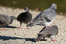 Pair Of Rock Dove