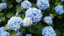 Beautiful Fresh Nikko Blue Hydrangea Macrophylla Flowers On Green Background Summer Garden Daylight
