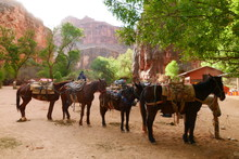 Horses/Mules Carrying Goods Th...