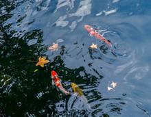 Koi Fish Swim In The Lake