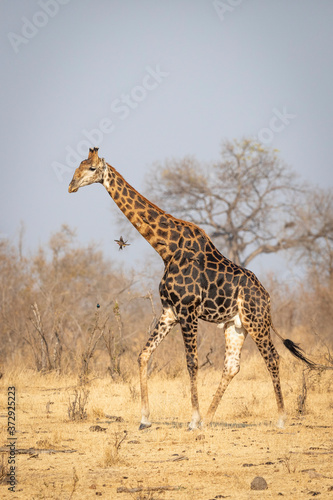 Fototapety, obrazy: Male adult giraffe with dark pattern walking in dry winter bush in Kruger South Africa